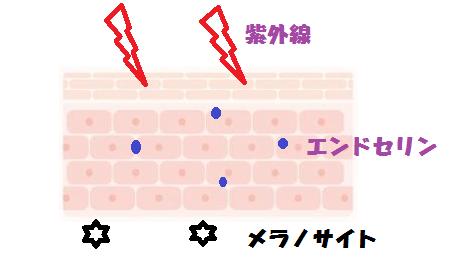 肌細胞シミ