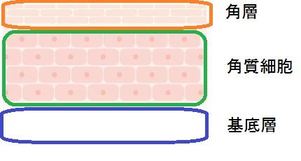 肌細胞 (2)