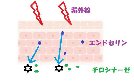 2肌細胞シミ